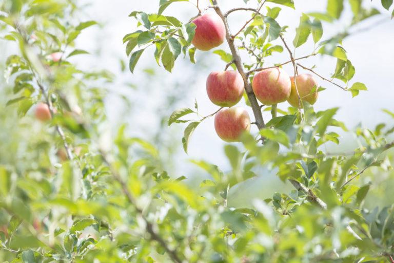 蘋果開拓嶄新未來。 年輕生產者攜手創造「日本第一的蘋果城鎮」