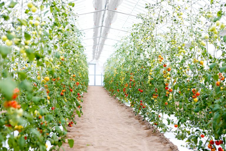 Magical Tomato Grown in Sand and Colorful Western Vegetables