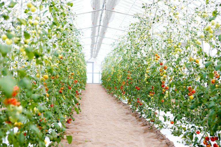 砂地培育的「魔法番茄」與色彩繽紛的西洋蔬菜