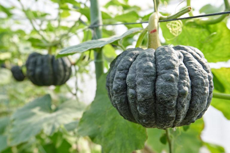 南国の太陽を浴びて育つ伝統野菜「黒皮かぼちゃ」