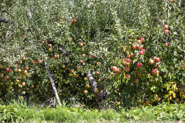 飯綱町りんご農園