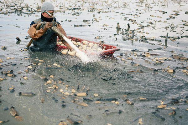 レンコン収穫写真
