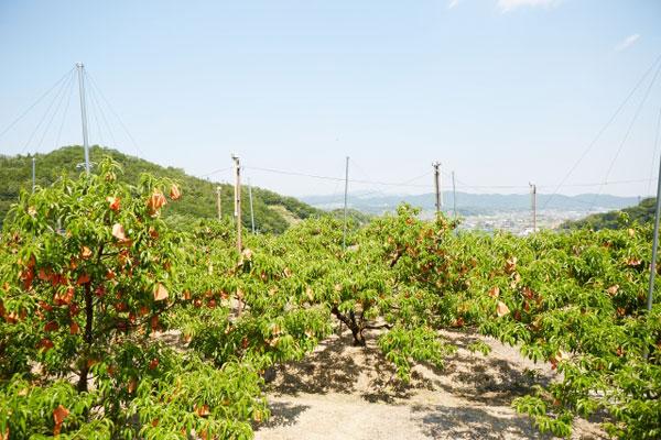 桃農園写真