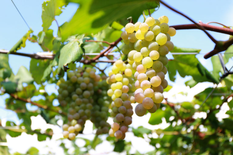 Aiming to Make the World's Best Wines from the Koshu Region