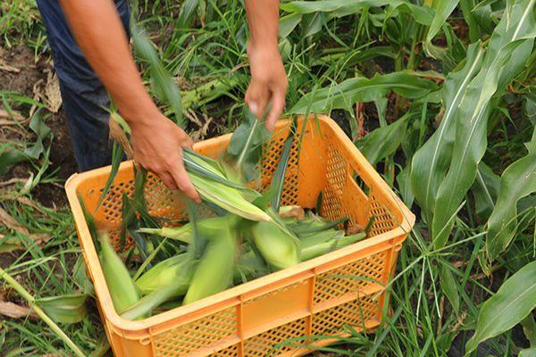 トウモロコシ「味来」収穫写真