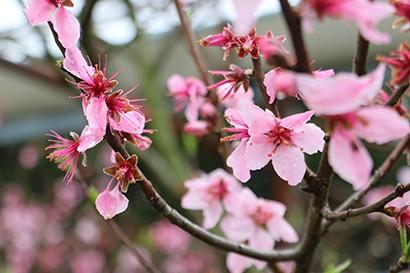 西田果樹園桃の花写真