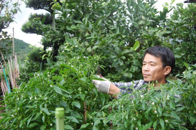 青唐辛子を収穫する原田さん