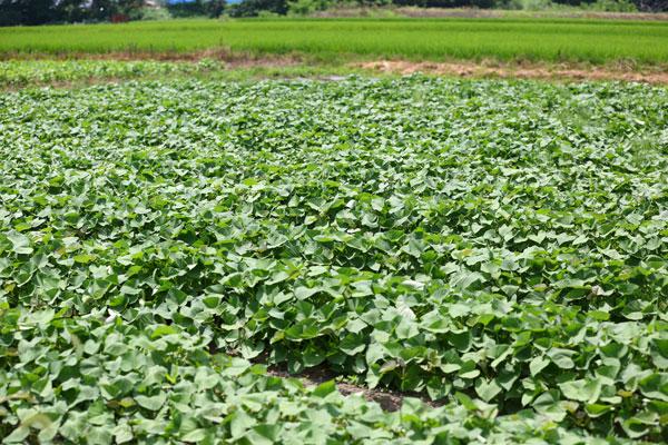 郡山ブランド野菜畑写真