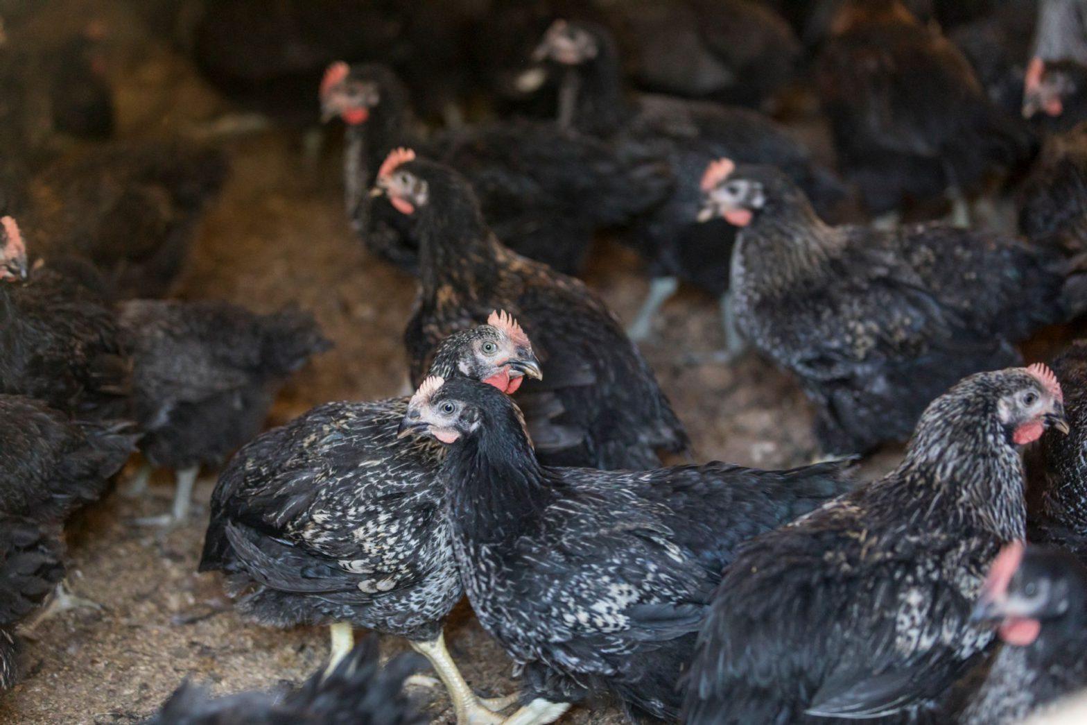 山口県のブランド地鶏「長州黒かしわ」