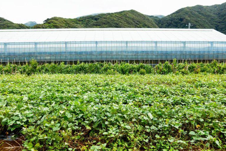 八丈島の赤芋畑
