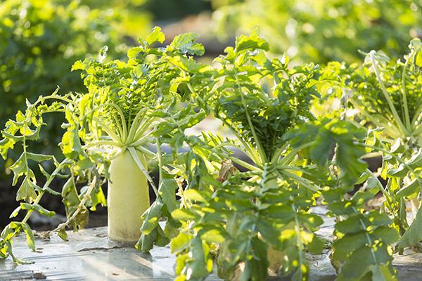 固定種の野菜写真
