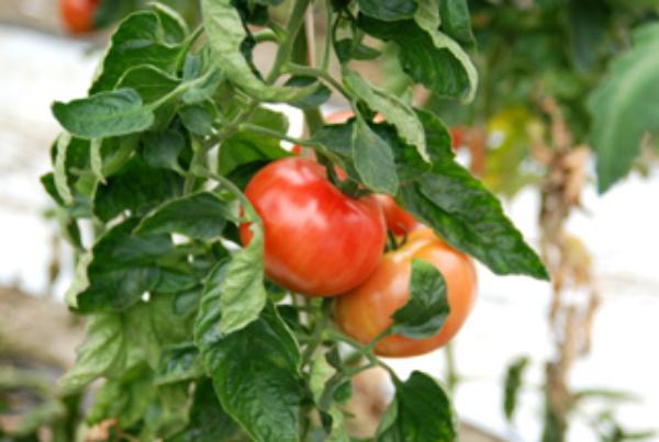 トマト漬物