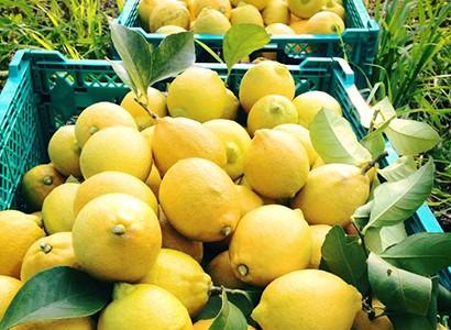 西田果樹園のレモン写真