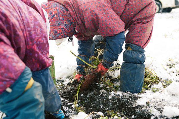 ふかうら雪人参収穫写真