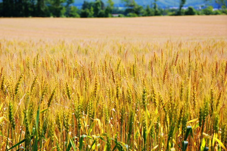 生産者と製造業者が支える 十勝産小麦の底力