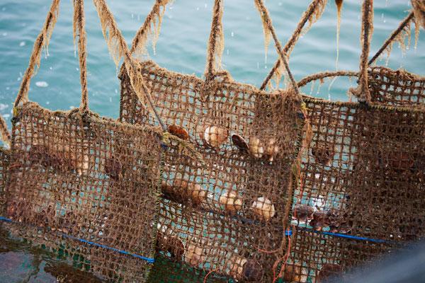 帆立養殖写真