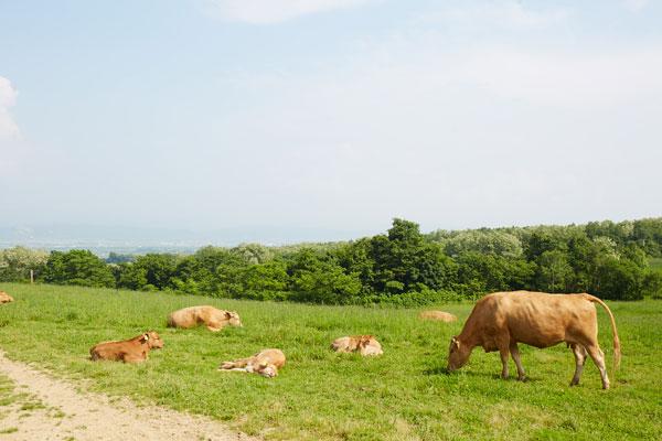 あか毛和牛牧場写真