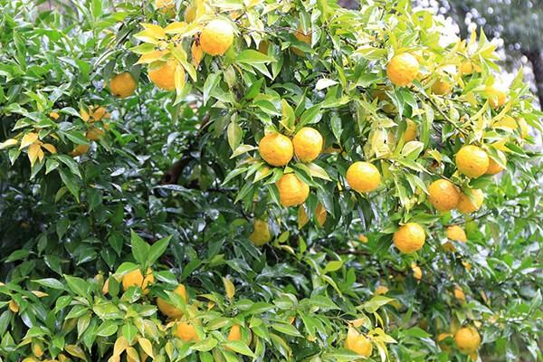 柚子の樹園写真