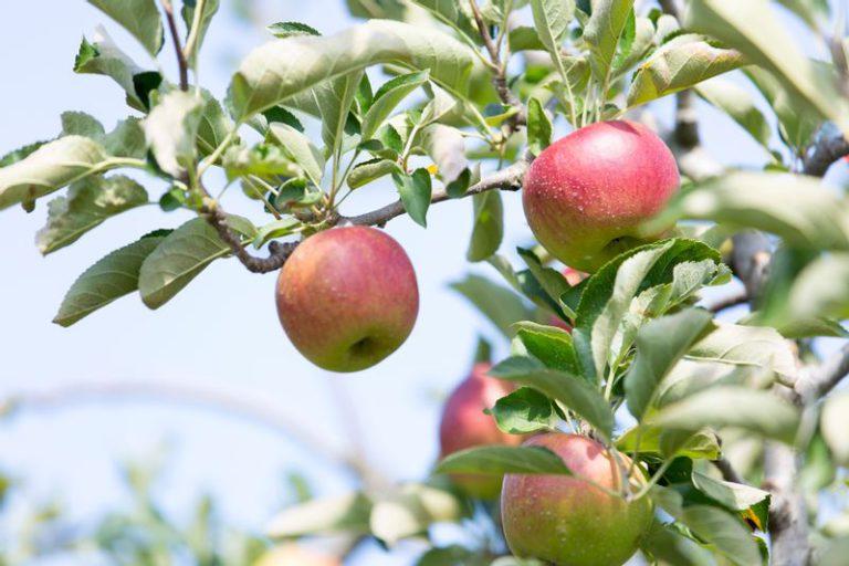 ファームトヤのりんご
