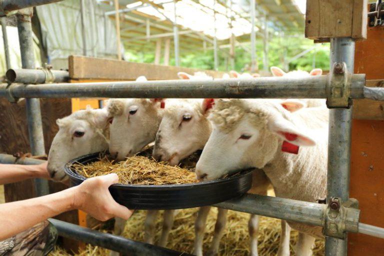 さとうみファームのわかめ羊