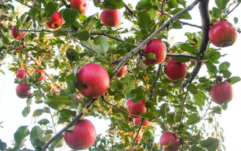 長野県白井農園のりんご