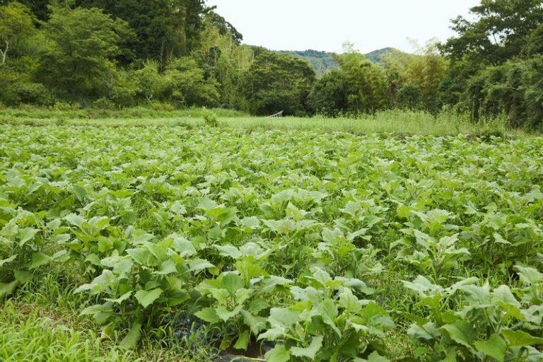 マリポ農園のヤーコン畑