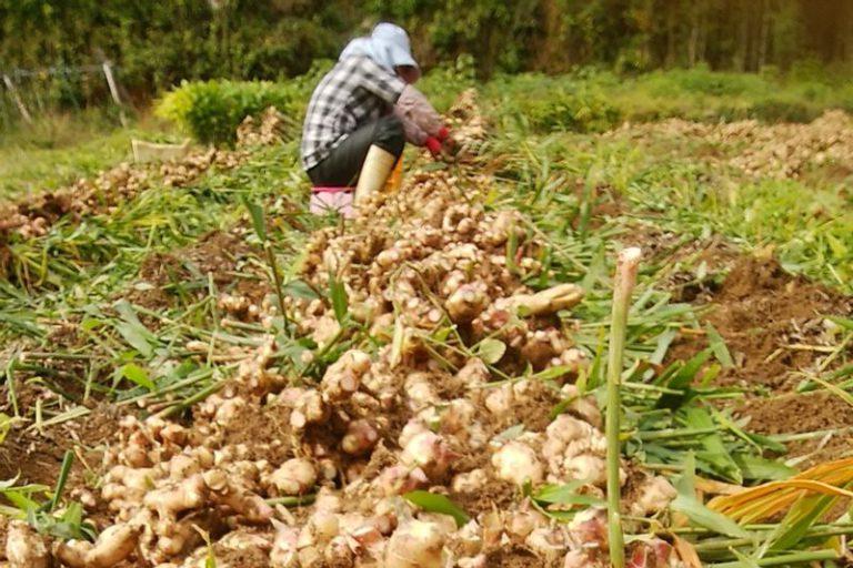 高知水田農園の生姜畑