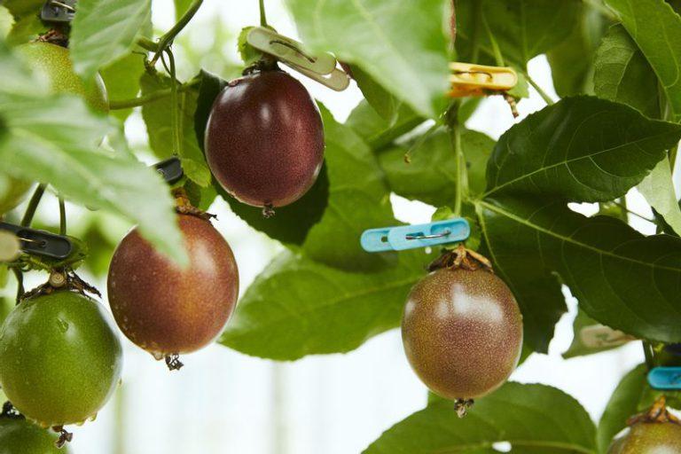 RYO'S FARMのパッションフルーツ